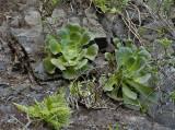 Sp Crassulaceae and Davallia canariensis