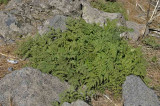 Fern - Davallia canariensis - Fougère patte de lapin