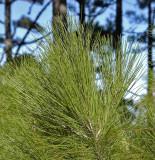 Canarian Pine