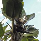 Giant Strelisia