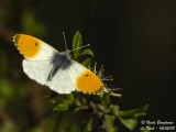 ORANGE TIP - ANTHOCHARIS CARDAMINES - AURORE