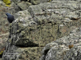 BLUE ROCK THRUSH and ROCK BUNTING