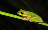 Litoria cooloolensis 3