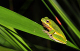 Litoria cooloolensis 1