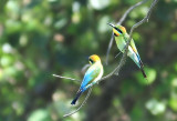Rainbow bee eaters - pair