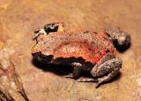 Pseudophryne coriacea with Batrachomyia parasite - dorsal