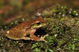 Litoria pearsoniana - cascade frog
