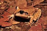 Mixophyes fasciolatus - great barred frog