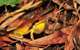 Litoria brevipalmata male calling - green-thighed frog