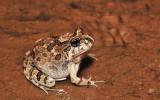 Opisthodon ornatus - Ornate burrowing frog