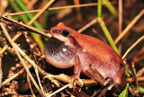 Litoria rubella - Naked tree frog calling