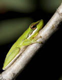 Litoria olongburensis - Wallum Sedge Frog