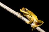 Litoria revelata 1 - Whirring Treefrog