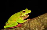 Litoria infrafrenata - White lipped tree frog