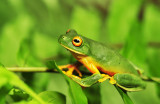 Litoria xanthomera - northern orange-eyed tree frog