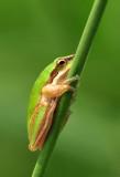 Litoria fallax - common sedge frog