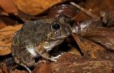 Ornate burrowing frog 2