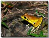 Male Stoney Creek Frog