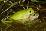 Litoria caerulea in amplexus - green and blue/brown form 2