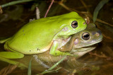 Litoria caerulea in amplexus - green and blue/brown form