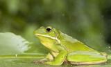 Litoria infrafrenata - White Lipped Treefrog