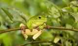 Litoria infrafrenata - White Lipped Treefrog  in tree