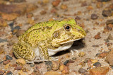 Cyclorana novaehollandiae - Eastern Snapping Frog