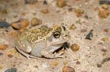 Cyclorana brevipes - Short-footed Frog