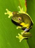 Litoria chloris - Southern orange-eyed tree frog