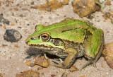 Cyclorana alboguttata - Greenstripe Frog