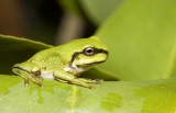 White lipped tree frog - metamorph