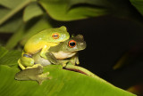 Southern orange eyed tree frogs in amplexus