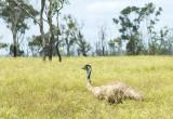 Emu - adult