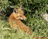 Red Fox Kit On Fort Henry Hill