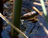Northern Water Snake 07193 copy.jpg