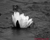 Water Lily 04434 copy.jpg