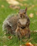 Grey Squirrel 09230 copy.jpg