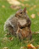Gray Squirrel 09231 copy.jpg