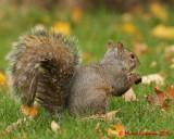 Grey Squirrel 09235 copy.jpg