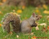 Gray Squirrel 09236 copy.jpg