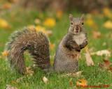 Gray Squirrel 09237 copy.jpg