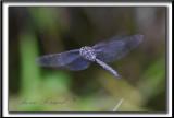_MG_0853  -  LIBELLULE EN VOL  /  DRAGONFLY IN FLIGHT
