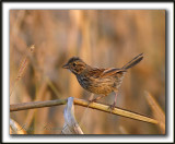 _MG_0489a   -  BRUANT CHANTEUR  JEUNE  / SONG SPARROW IMMATURE