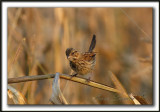 _MG_0481a    -  BRUANT CHANTEUR  JEUNE  / SONG SPARROW IMMATURE