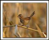 _MG_0483b    -  BRUANT CHANTEUR  JEUNE  / SONG SPARROW IMMATURE