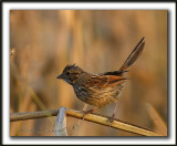 _MG_0487a    -  BRUANT CHANTEUR  JEUNE  / SONG SPARROW IMMATURE