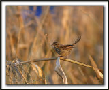 _MG_0495a    -  BRUANT CHANTEUR  JEUNE  / SONG SPARROW IMMATURE