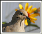 _MG_7284b   -  TOURTERELLE TRISTE - MOURNING DOVE