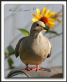 _MG_7286a   -  TOURTERELLE TRISTE - MOURNING DOVE