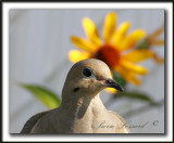 _MG_7286b   -  TOURTERELLE TRISTE - MOURNING DOVE
